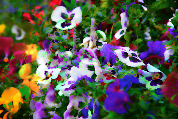 Abstract Pansies #4