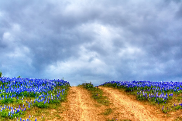 Bluebonnets at Muleshoe Bend #46