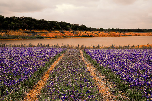 Bluebonnets at Muleshoe Bend #6